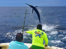 This big Black Marlin, caught by James Billys ate a 15 lb. Yellowfin Tuna. Photo by Melissa Billys