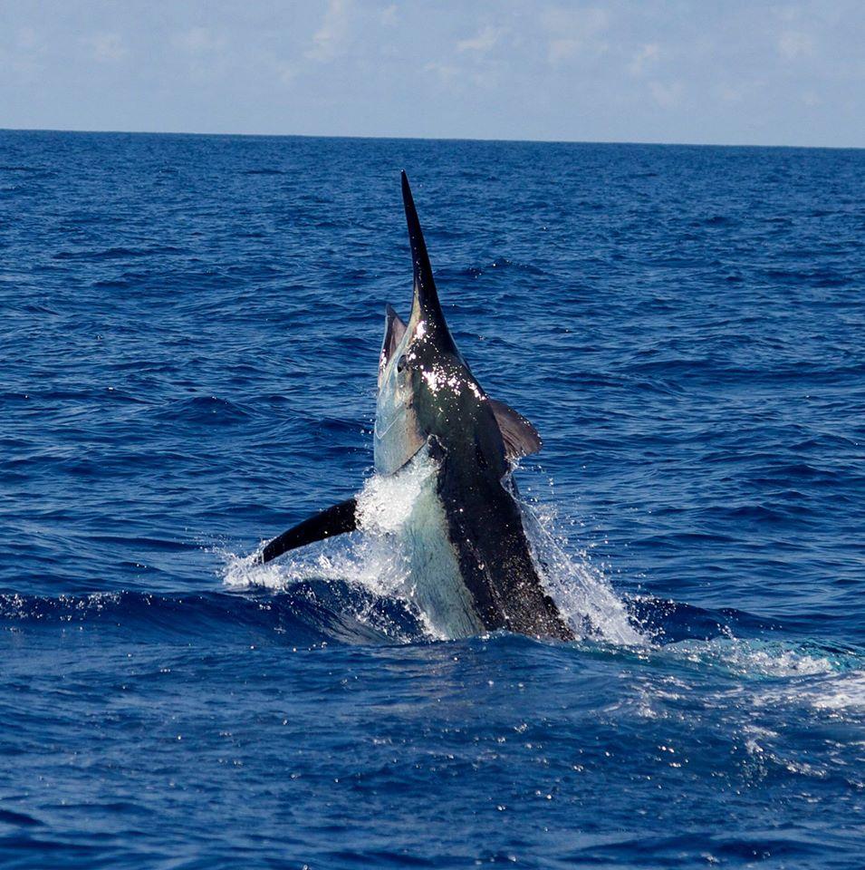 Big Black Marlin Fishing Report - November 17, 2015 ...