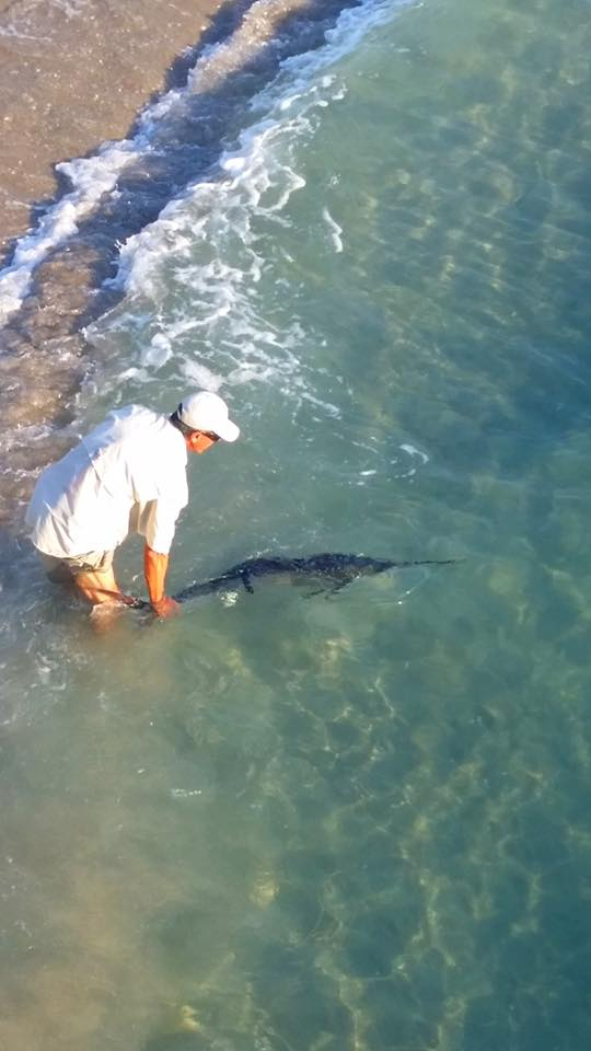 Sailfish from the pier fishing report april 29 2016 for Juno pier fishing report