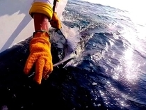 Striped Marlin Release Manta