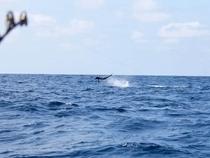 Mike Ross fights a blue marlin onboard Miura in Manta, Ecuador