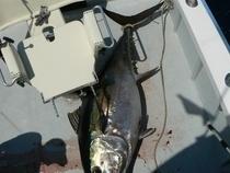 Giant bigeye tuna from Galapagos Islands