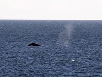 Humpbacks swimming by this morning.