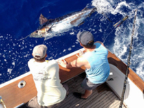 Crew Randy Parker releases a blue marlin on Marlin Magic II with Capt. Marlin Parker.  Photo courtesy of Marlin Magic Sportfishing.