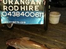 1 metre Catfish