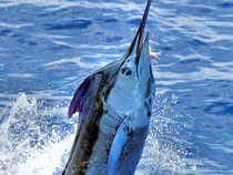 Blue Marlin released by Chad Damron aboard the Sodium during the first day of the tournament. Credit: Richard Gibson