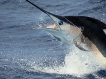 Four hundred-pound blue marlin released by Chad Damron aboard the 75' Weaver, Sodium, off the North Drop during the first day of fishing in the ABMT. Credit: Travis Butters.
