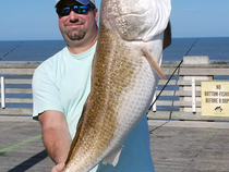 A total of eight bull RED DRUM were caught and released yesterday including this whopper by Phillip Underwood of Roanoke Island.